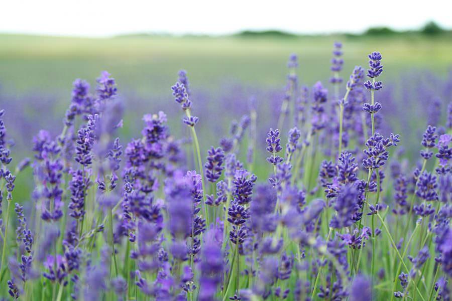 Visit Norfolk Lavender