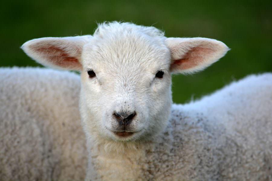 Lambs at Snettisham